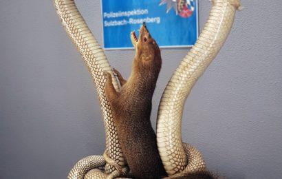 Schlangen gegen Mungo