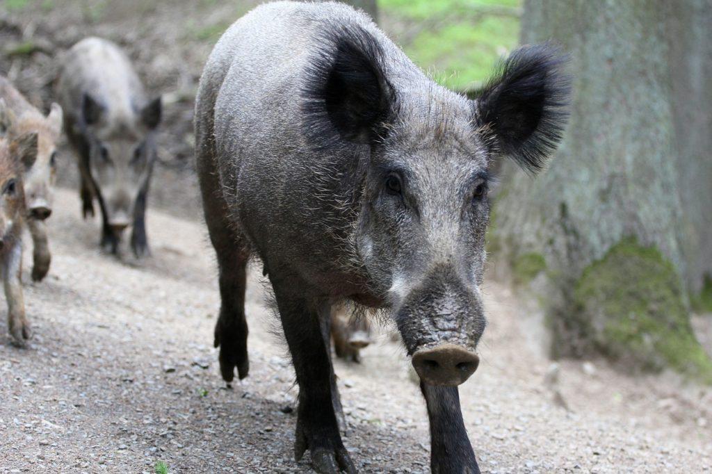 Wildschweine Rotte Familie