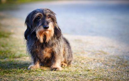 Hund, Rauhaardackel Symbolbild Pixabay)