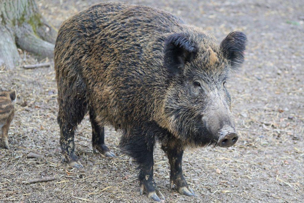 Wildschwein (Symbolbild Pixabay)