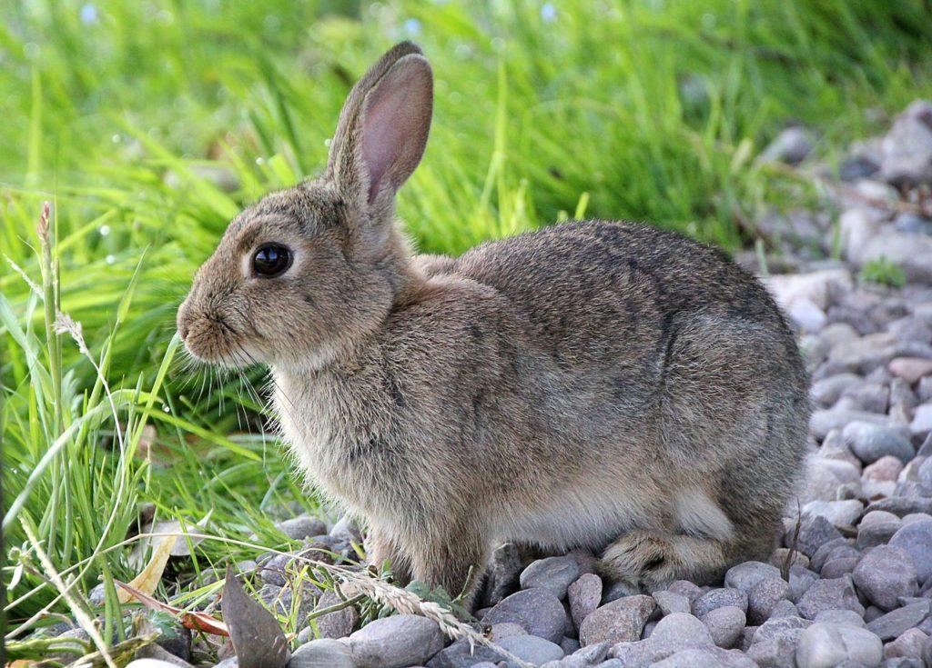 Der Hase war  mit einem Luftgewehr zweimal angeschossen, hatte beide Vorderläufe gebrochen  und im Nacken eine starke Verbrennung. (Symbolbild Pixabay)