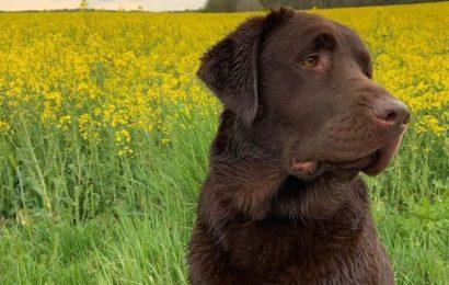 Ausgelegte Giftköder gefressen – Labradorhündin konnte gerettet werden
