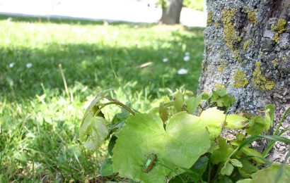 Auf der Spur von Linden-Prachtkäfer und Marmoriertem Rosenkäfer in Amberg