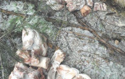 Fleischentsorgung im Wald bei Tännesberg