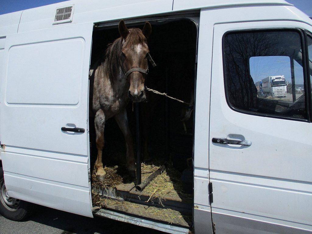 Bilder (Hauptzollamt Regensburg): Pferde im Anhänger und auf der Ladefläche
